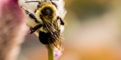 Image: Hilary Halliwell, Selective-focus Photography of Bee on Top of Flower, Pexels, Pexels Licence