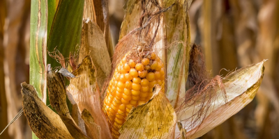 Image: minka2507, Corn on the cob plant, Pixabay, Pixabay Licence
