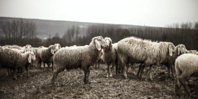 Photo credits: Pexels - https://www.pexels.com/photo/black-and-white-animals-sheep-flock-1469/