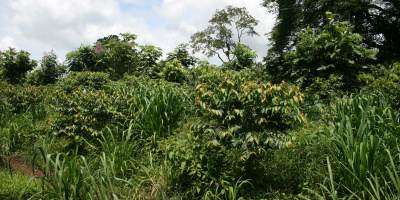Photo: Simone Fenger, Cassava production in Agroforestry system, Creative Commons License 2.0 generic.