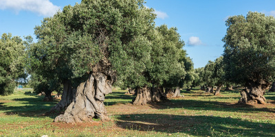Image: Isiwal, Ostuni olive grove, Wikimedia Commons, Creative Commons Attribution-Share Alike 4.0 International