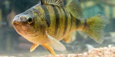 Image: Robert Colletta, Photograph of a fully mature Perca flavescens (Mitchill, 1814) - yellow perch, Wikimedia Commons, Public Domain