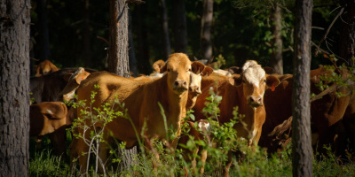 Image: USDA NRCS Texas, Cows grazing in a silvopasture, Flickr, Creative Commons Attribution 2.0 Generic