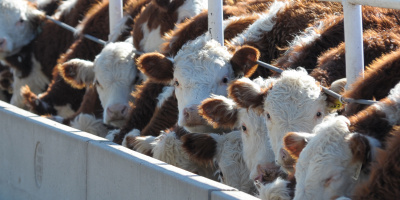 Image: K-State Research and Extension, Cattle feedlot, Flickr, Creative Commons Attribution 2.0 Generic