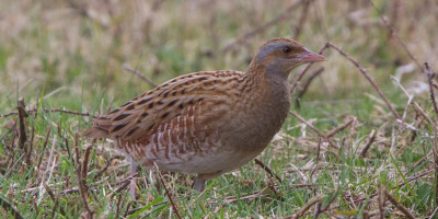 Image: Ron Knight, Corn Crake (Crex crex), Flickr, Creative Commons Attribution 2.0 Generic