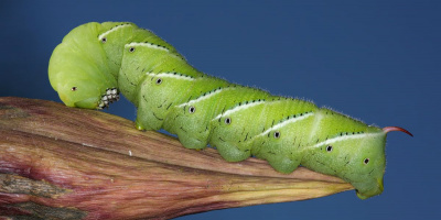 Image: Daniel Schwen, Tobacco Hornworm, found in Urbana, Illinois, USA, Wikimedia Commons, Creative Commons Attribution-Share Alike 4.0 International