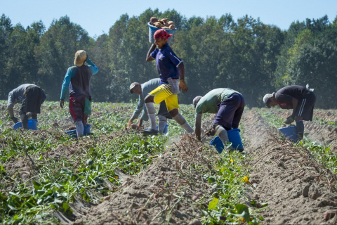 Image: USDA, Workers harvest the sweet potato crop, Flickr, Public domain