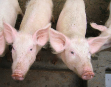 Image: sarahemcc, 2 piglets at JEEP, Flickr, Creative Commons Attribution 2.0 Generic