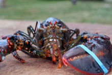 Image: grfx4, Lobster Maine crustacean, Pixabay, CC0 Creative Commons