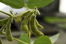 Image: United Soybean Board, Soybean Pods, Flickr, Creative Commons Attribution 2.0 Generic