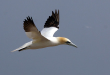 Image: jacme31, Northern Gannet flying on Bonaventure Island in Gaspesie, Quebec, Canada, Wikimedia Commons, Creative Commons Attribution-Share Alike 2.0 Generic
