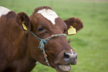 Image: Tobias Akerboom, Complaining cow, Flickr, Creative Commons Attribution 2.0 Generic