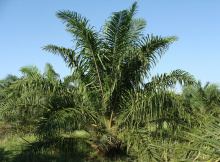 Image: sarangib, Oil Palm Tree, Pixabay, CC0 Creative Commons