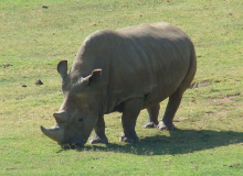 Image: Sheep81, Northern White Rhinoceros Angalifu, Wikimedia Commons, Public domain