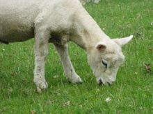 Image: MaxPixel, Lamb eating, CC0 Public Domain